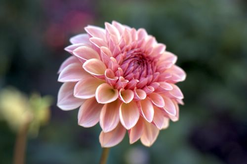 Ванкувер цветок